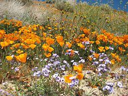 Wildflowers_at_California_Poppy_Reserve