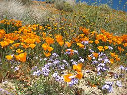 Wildflowers_at_California_Poppy_Reserve