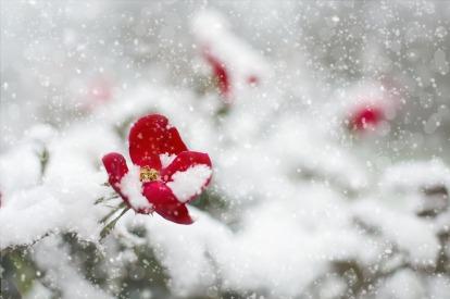 red-rose-1056852_1920