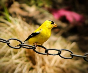 american-goldfinch-170602_1280