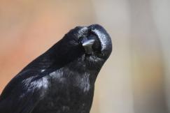 crow-2843316_1920