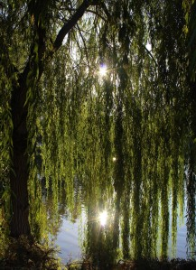 willow-3639163_1920 (1)