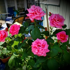 Roses on the patio